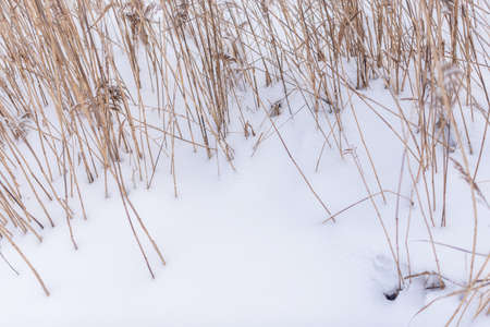 Dry stalks of cane grass grow from white snow in winter on the lake in the cold. Stockfoto