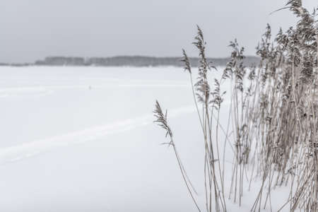 Dry reeds under the snow in winter grow against the background of the lake with tracks on the ice and trees on the shore. Stockfoto