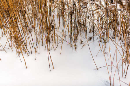 Bright yellow dry stalks of reed grass grow out of white snow in winter on the lake in the cold.