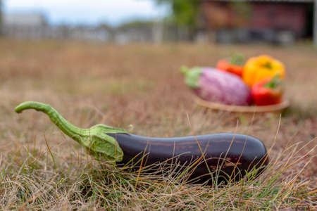 A dark black eggplant with a green tip lies on the grass against a basket of peppers on the autumn ground in the village.