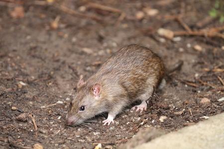 Very nice rat in my garden in summer. Archivio Fotografico