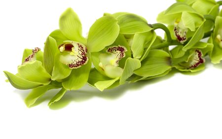 Tropical Green Cymbidium Orchid on a white background