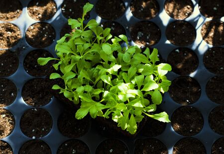 Young fresh seedlings in plastic pots