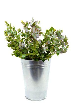 Eucalipto fresco en un jarrón sobre un fondo blanco.