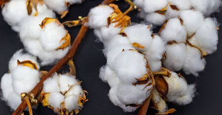 cotton bolls on a dark background