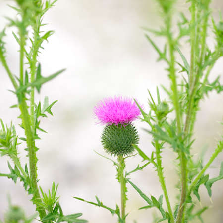 poignant: Vintage photo thistle flowers on background light bokeh