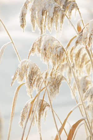 canne: The stems of reeds covered with snow.