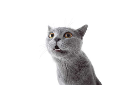 Gray cat looking at camera. Isolated on white background Stock Photo - 77472068