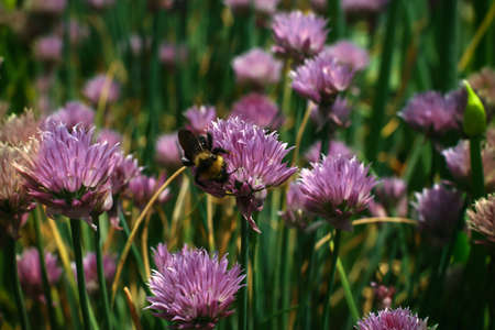 red clover: Bumblebee collecting nectar on a red clover flower
