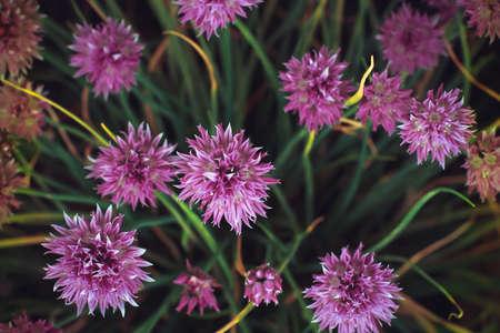 Onions shnitt. Bunch of Onion summer flower