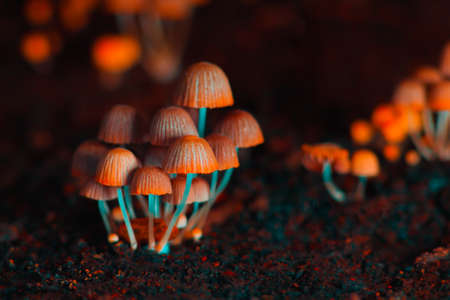 Small mushrooms toadstools. Orange psilocybin mushrooms. Selective focus 版權商用圖片