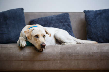A large yellow Labrador dog feels comfortable and rests in a chair. The pale dog sat and smiled, The animal in the house,