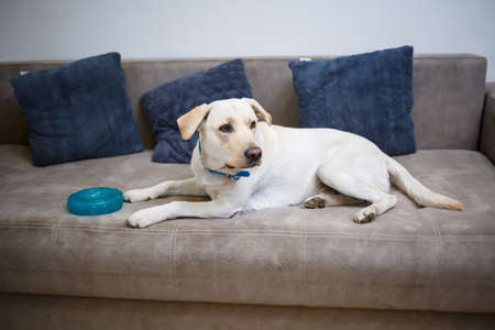 Portrait of an eighteen month old white Labrador retriever lying on a gray textile sofa. A happy and funny dog is lying at home. Close, copy space.