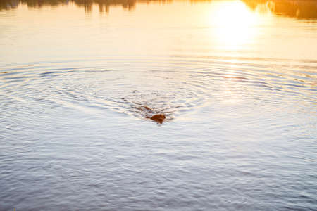 Black dog Labrador at sunset swims in the lake. Gorgeous family pet dog on the beach at sunset. Puppy explores the sea on summer vacation