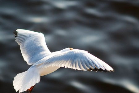 widely: flying seagul with widely spread wings over water surface