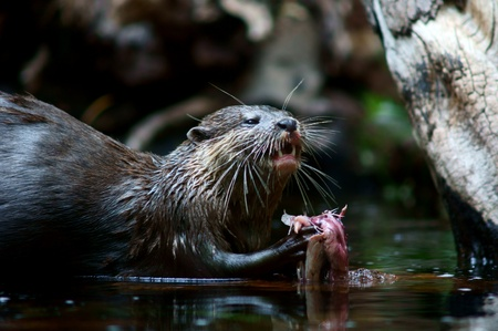 small clawed: asian small-clawed otter sitting in water and eating fish Stock Photo