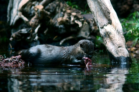 wildlife photo of small otter eating fish on a pond photo