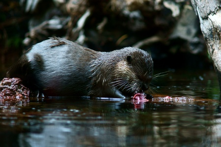 otter eating fish in water photo