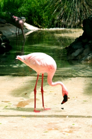 pink flamingo: flamingo standing at the pond