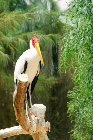 one Mycteria ibis sitting on a branch in tropical forest photo