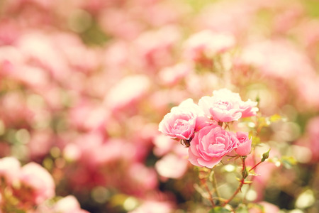 roze: Pink roses bushes in blossom on a sunny summer day.