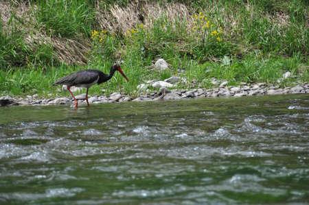 black stork: La cig�e�a Negro, Ciconia nigra es una especie de ave de la familia de la cig�e�a. Es una especie muy extendida, pero poco comunes, que se reproduce en las zonas m�s c�lidas de Europa. Foto de archivo