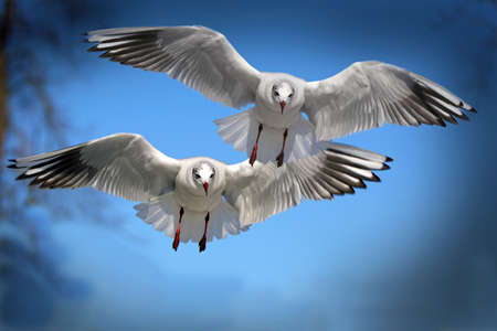 baptize: Single sea gull flying against background of blue sky and white clouds.