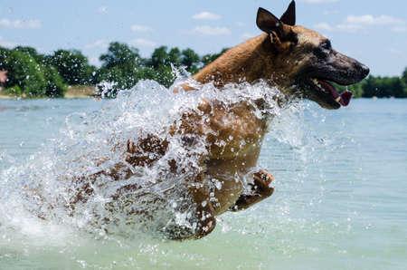 belgian shepherd dog jumps in water photo