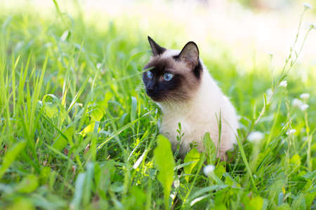 blue siamese cat: siamese cat with blue eyes