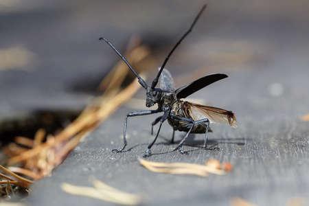 cerambycidae: Beetle flies