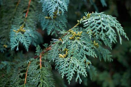 juniper: Blue branch juniper with dew