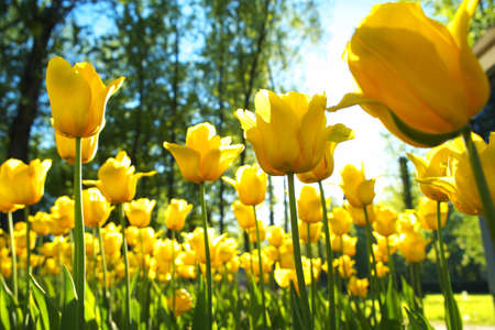 field flower: flowerbed with yellow tulips