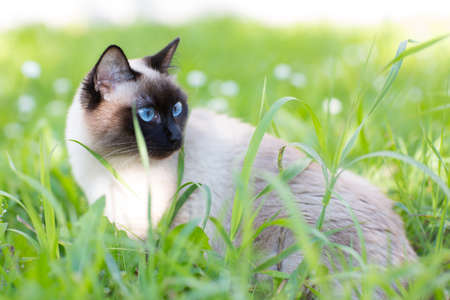 blue siamese cat: Siamese cat in the grass with blue eyes Stock Photo