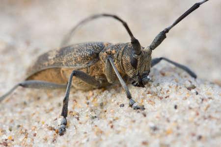 cerambycidae: bug with antenna on the beach