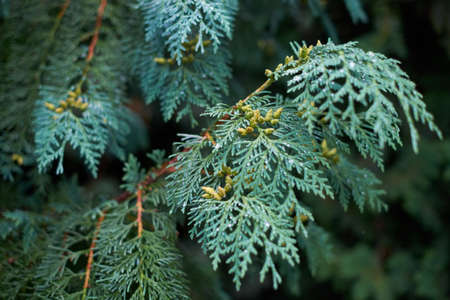 Blue branch juniper with dew