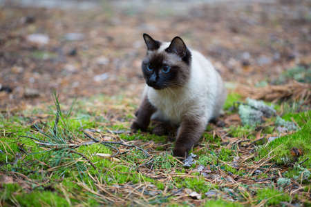 Siamese cat walking in the forest. Stock Photo