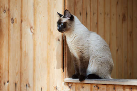 Siamese cat sitting on the railing of a wooden house. Stock Photo