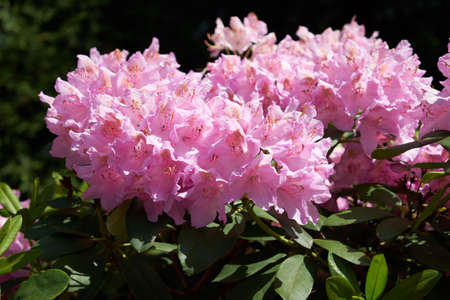 Rhododendron in the botanical park in St. Petersburg Stock Photo