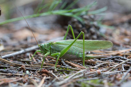 The female green grasshopper in the forest. Stock Photo