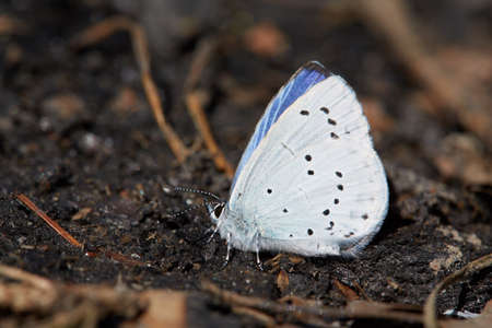 Blue butterfly sitting on a black charcoal in the forest. Stock Photo