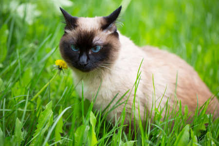 babies: Siamese cat walk in the grass with blue eyes