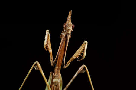 Portrait Empusa. Dry insect from the collection.