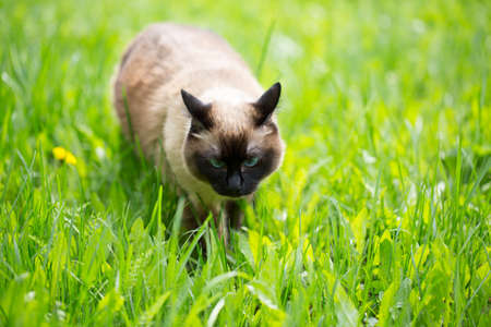 Siamese cat walk in the grass with blue eyes