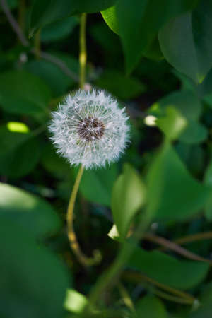 Fluffy dandelion in the foliage