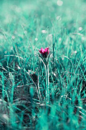 Purple anemone in the grass in sinlight