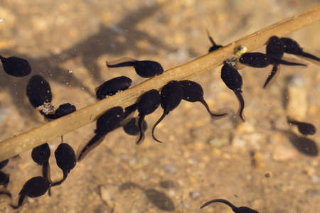 Many tadpoles swim on the transparent water