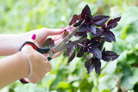 snip: Hands snip off a basil by scissors Stock Photo