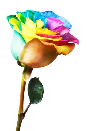 Regenbogen Rose isoliert auf weißem Hintergrund Standard-Bild