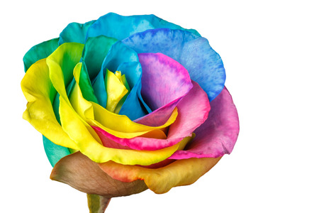 Rainbow rose flower isolated on a white background 版權商用圖片