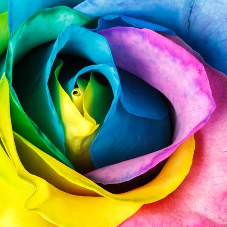 レインボー ローズ花 - 平面図 写真素材